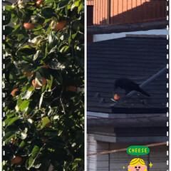 カラスと柿 お隣の柿間我が家まで伸びているのでうちの…