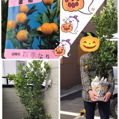 金柑の植木購入 今日は息子にたくさんの荷物を📦持たして、…