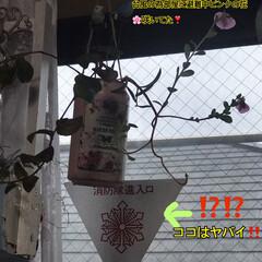 「昨日から台風対策で部屋に植物移動、ピンク…」(1枚目)