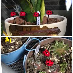 多肉植物がある暮らし/てんとう虫🐞のミニピック 小さいてんとう虫の🐞🐞🐞ピックまた増やし…(1枚目)
