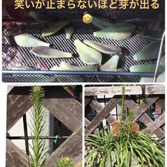 ガーデニング/多肉植物のある暮らし 多肉植物植える時に外した物も網棚に並べて…(1枚目)