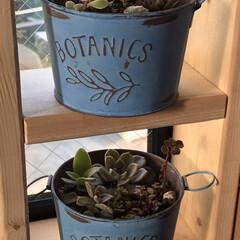 多肉植物のある暮らし/百均/多肉植物植えやすい缶鉢 この鉢、とっても植えやすし可愛い😍💕 百…(1枚目)