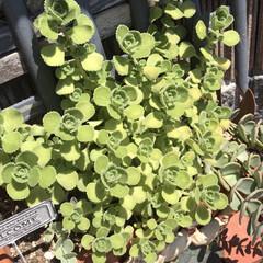 暑さに強いアロマティカス 他の植物が弱りぐったりしているのに、今年…