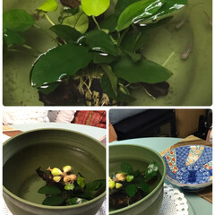 メダカちゃん鉢変わる 群馬県で買ってきたメダカなんか大きくなっ…