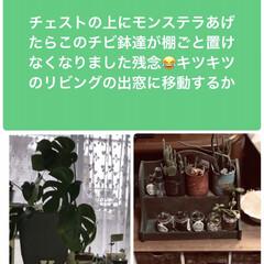 部屋の中で育てる植物 Monstera立派な鉢にかえたら今度は…(1枚目)