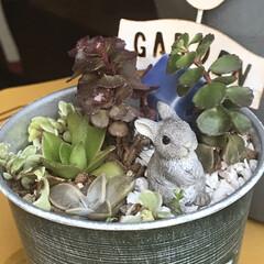 多肉箱庭/多肉植物のある暮らし/多肉植物寄せ植え 小さい鉢ですが箱庭、家は青、ウサギ🐇の庭…(1枚目)