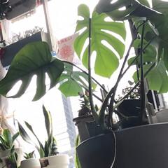 雨の日、梅雨は多肉植物家に入れる/多肉植物のある暮らし おはようございます😃 私の大事な多肉植物…(2枚目)