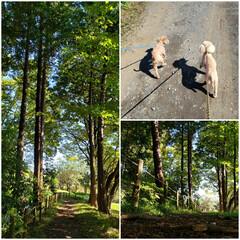ペット/トイプー/お散歩/犬と暮らす たくさん歩いたね🐶💦(1枚目)