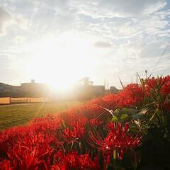 花/夕日 川沿いの土手に彼岸花が満開🤩🤩🤩 夕日が…(1枚目)