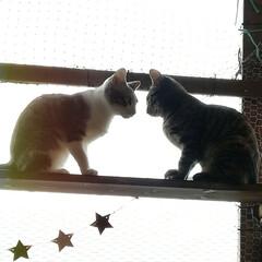 キャットウォークDIY/キャットウォーク/ペット/猫/にゃんこ同好会/DIY/... ベランダのニャン達の遊び場♪ お気に入り…