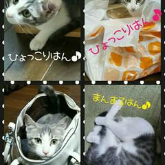 かわいい/面白い/ネコちゃん/ネコ/ねこ/猫/... ミィ~は袋やカゴ▪箱やカバン入れるところ…