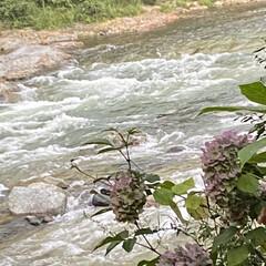 鬼怒川/紫陽花 鬼怒川のたっぶりな水量と迫力ある流れと可…