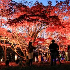 紅葉/ライトアップ/武蔵丘陵森林公園/連休 国営武蔵丘陵森林公園の紅葉ライトアップ