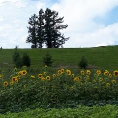 ドライブ/美瑛町 数年前にCMにでていた「嵐の5本の木」で…