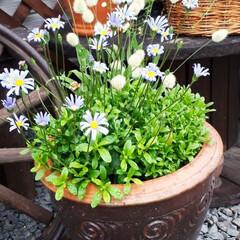 ヒペリカム/蕎麦畑/我が家の庭 庭の花たちと散歩途中の蕎麦畑です(7枚目)
