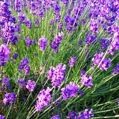 ハーブ/ガウラの花/ラベンダー/庭の花 ラベンダーの隣り ガウラも咲き出しました。