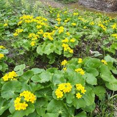 北方野草園/アイヌのチセ/登山道/ゴゼンソウ/エゾエンゴサク/ヤチブキ 北方野草園には春の野草が咲いてます。