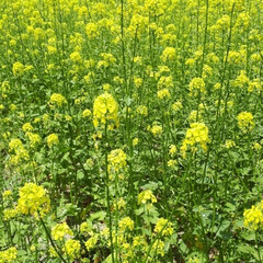 富田ファーム/アドバルーン/ポピーの花/ラベンダー/きからし ラベンダーの花が咲いているうちに…と思い…(5枚目)