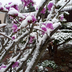 庭木/雪の日/ツツジ 雪が降り、ツツジが重そう! でも思ったよ…