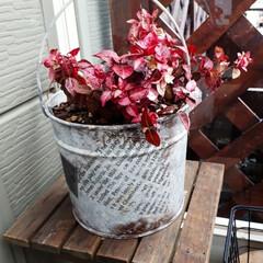 初雪カズラ/うちの庭/大雪/雪かき 玄関にたった1鉢残った初雪かヅラ。 昨日…