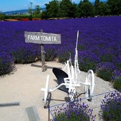富田ファーム/アドバルーン/ポピーの花/ラベンダー/きからし ラベンダーの花が咲いているうちに…と思い…(2枚目)