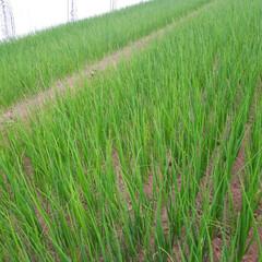 ネギ苗収穫/早朝バイト 早朝バイトです。 ネギ苗の収穫に行って来…(2枚目)