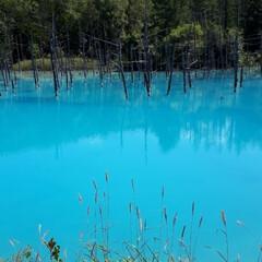 旦那とドライブ/青い池/美瑛町 青い池です。  今日は池の色も鮮やかでし…