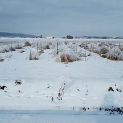 私の散歩コース/冬の風景/アスパラ畑 いつものウォーキングの道です。道路は堤防…(3枚目)