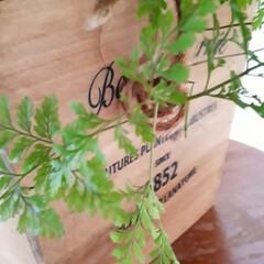 タバリアラビットフット/観葉植物 我が家の観葉植物 「ラビットフット」とい…(2枚目)