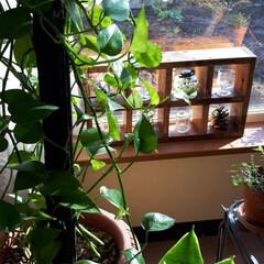 カポック/アイビー/ペペロミア/ポトス/観葉植物 我が家のgreenたちです。  これから…