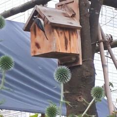 子育て中/庭の巣箱/シジュウカラ 庭の巣箱にシジュウカラが来ました😊  た…