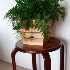 タバリアラビットフット/観葉植物 我が家の観葉植物 「ラビットフット」とい…(1枚目)