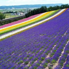 富田ファーム/アドバルーン/ポピーの花/ラベンダー/きからし ラベンダーの花が咲いているうちに…と思い…(1枚目)