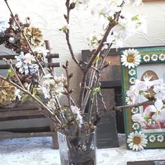 植物/玄関/住まい 桜の剪定枝。外にはまだ雪があり、まだ先だ…