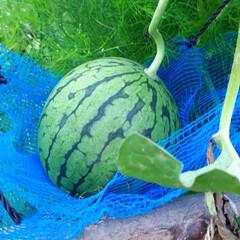 キュウリ/じゃが芋/トマト/モロッコ豆/トウキビ/スイカ 家庭菜園の野菜たちです。 スイカは旦那が…