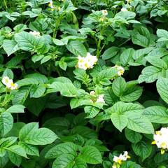 ジャガイモの花/リーフラベンダー/庭の花たち じゃが芋の花が満開です。「とうや」という…