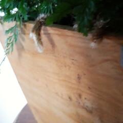 タバリアラビットフット/観葉植物 我が家の観葉植物 「ラビットフット」とい…(3枚目)
