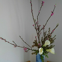 ひなまつり/いけばな 花桃、カラー、つげ照葉 もうすぐ ひなま…