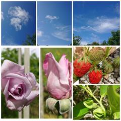 暮らし 青空と一昨日の雨で😓な🌹と柿の蕾と🍓  …(1枚目)