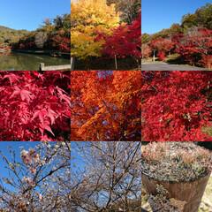 さくら/四季桜/もみじ/紅葉 紅葉🍁は去年は夜にライトアップを見に行っ…