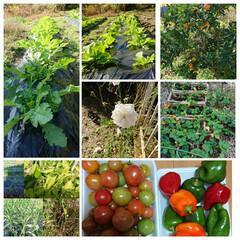 家庭菜園 すくすくと成長中の大根、白菜🥬、にんにく…