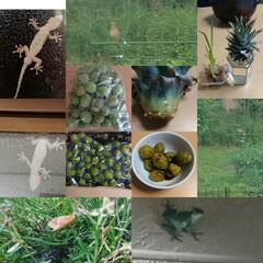 家庭菜園/野鳥 早朝5時から鳴く鳥📸調べたら「コジュケイ…(1枚目)