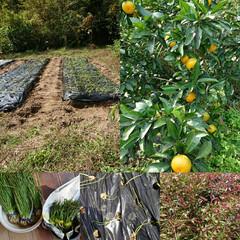 家庭菜園 色づいてきたみかん🍊  玉ねぎ中生250…