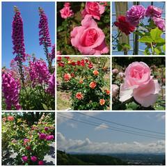 暮らし 薔薇の種類の多さにびっくりしながら夢中で…(1枚目)