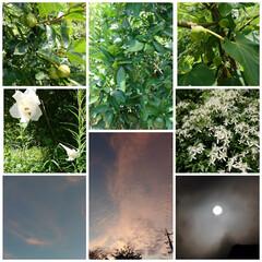生活を楽しむ 庭に自生したユリとツルの白い草花 8月の…