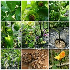 暮らし みかん🍊と柿の実が少しずつ大きくなった。…