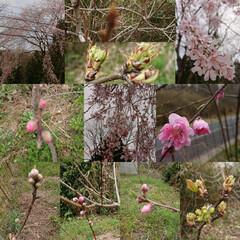 果樹/しだれ桜/しだれ花もも しだれ花ももが咲いた! 花もも(①②)と…(1枚目)