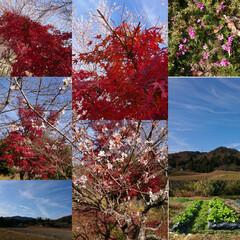 山/家庭菜園/四季桜と紅葉/芝桜 よその畑を見て、今年は種蒔きが遅かった事…