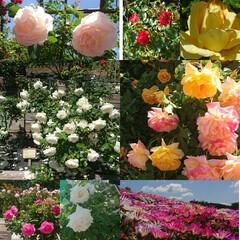 暮らし 買い物ついでに公園をお散歩、きれいな薔薇…