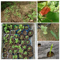 家庭菜園 成長中の白菜🥬お鍋やクリーム煮、ロール白…